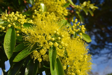 Beautiful fluffy eucalyptus flowers on a close-up branch. Yellow flowers of the gumtree Angophora hispida.