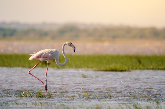A greater flamingo (phoenicopterus roseus) perfectly posed standing upright in shallow waters in Isimangaliso Wetlands park, St. Lucia, South Africa.