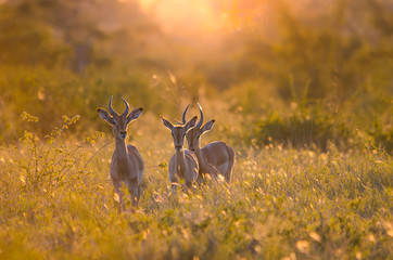 3 young male Impalas (aepyceros melampus) walking through the bush at sunset, in the Kruger national park, backlit at golden hour. South Africa.