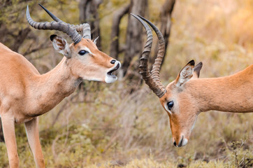 A pair of male impala (aepyceros melampus) playfully fighting one another in the Kruger national park, South Africa.