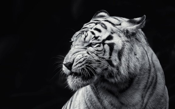 tiger in zoo white tiger
