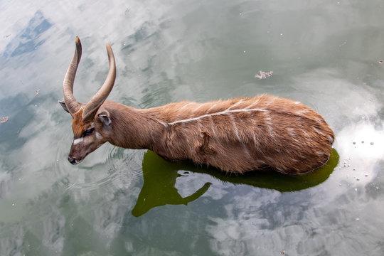 Antelope West African Sitatunga - Tragelaphus spekii gratus standing in the water.
