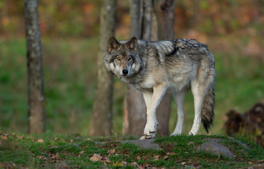 Ingelijste posters Wolf A lone Timber wolf or Grey Wolf Canis lupus on top of a rock looks back on an autumn day in Canada