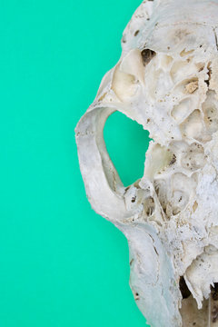 Close Up of Animal Fox Sheep Skull on Green Background Abstract