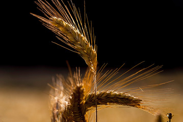 background of spikelets in brown tones