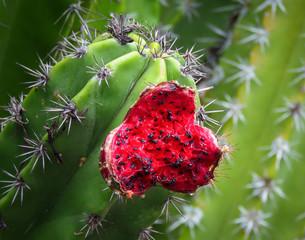 Juicy red fruit on saguaro cactus, Moir Gardens, Poipu, Kauai, Hawaii, USA