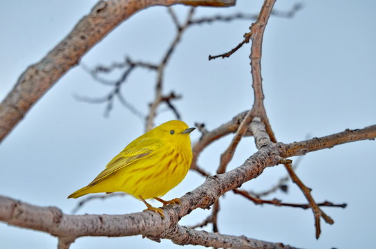 Yellow warbler perched in tree