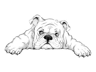 cute bulldog sketch