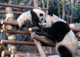 Aluminium Prints Panda Panda mother and cub at Chengdu Panda Reserve (Chengdu Research Base of Giant Panda Breeding) in Sichuan, China. Two pandas looking at each other. Subject: Pandas, Cub, Reserve, Chengdu.