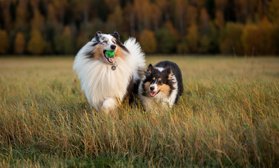 Two fluffy dogs, an adult and a collie puppy, play with each other and with a toy at sunset