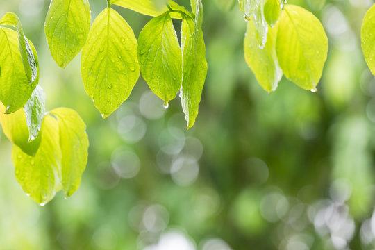 雨に濡れた木の葉 梅雨イメージ