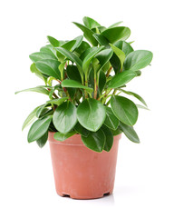 home plant in pot on white background
