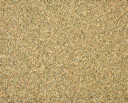 organic whole grain wheat kernels on white background