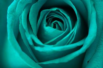 Photo sur Aluminium Macro photographie Green rose flower background.