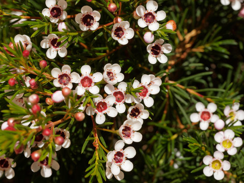 Geraldton waxflower flowering (Chamelaucium uncinatum)