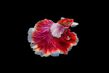 Foto op Plexiglas Vissen The moving moment beautiful of red half moon siamese betta fish or dumbo betta splendens fighting fish in thailand on black background. Thailand called Pla-kad or big ear fish.