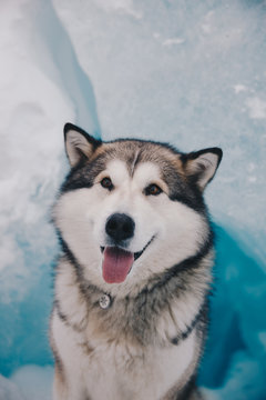 happy husky sitting infront of an glacier in Svalbard