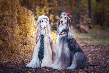 Couple  dogs in the style of the bride and groom, lovers. Afghan hounds as men and women. Concept lovers, fashion for dogs