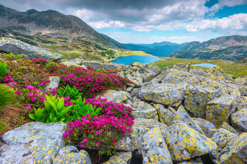 Wall Mural - Alpine pink rhododendron flowers and Bucura lake, Retezat mountains, Romania