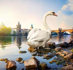 Fototapete - Swan on river Vltava