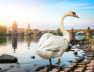 Fototapete - White swan in Prague