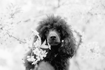 black poodle in spring cherry blossom flowers, black and white image