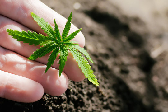 One young green cannabis seedling in hand on a blurred background with soil planted in the ground. Growing hemp