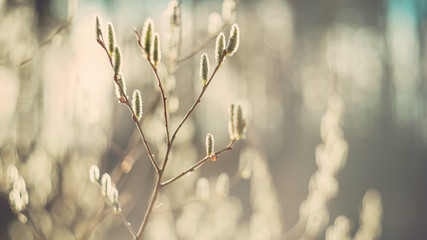 In spring, a tender flowering willow Bush on a Sunny day. selective focus. Art. Wallpaper. Retro look. Soft focus