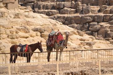 Photo sur Aluminium Vache camel and horse near the pyramid