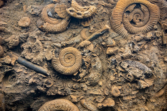 Close up of a prehistoric bottom of an ocean with various fossils of Ammonoidea,  mollusc animals and other various shells and seashells
