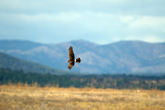 Northern Harrier in flight with Sangre de Cristo Mountains in background