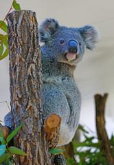 Printed kitchen splashbacks Koala A koala on a eucalyptus gum tree in Australia