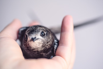 Hand Raised Young Swifts