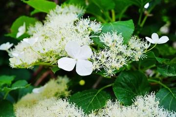 Garden Poster Hydrangea White clusters of climbing hydrangea flowers (hortensia anomala petiolaris)