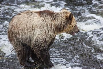 Brown Bear in British Columbia