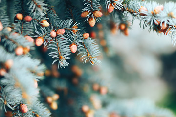 The young cones of blue spruce. Springtime background with new spring growth on dove fir. selected focus, close up