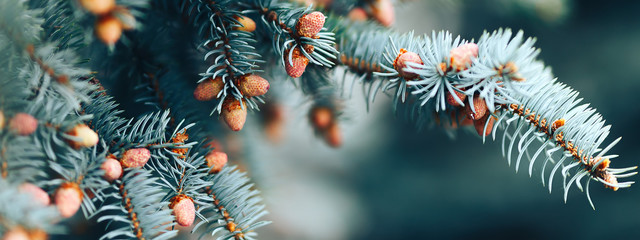 long banner The young cones of blue spruce. Springtime background with new spring growth on dove...