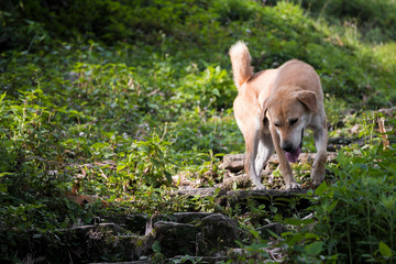 Stray dog in tropical landscape in Sarangkot, Pokhara, Nepal.