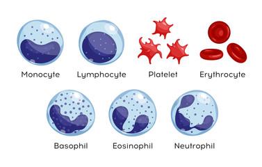 Vector set of Monocyte,   Lymphocyte, Eosinophil, Neutrophil, Basophil, Platelet, Erythrocytes. Types of blood cells.