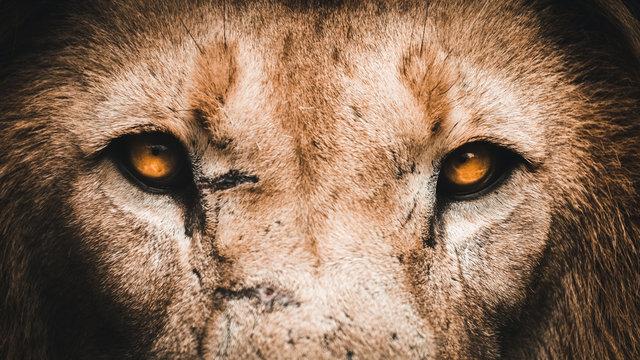 Lion eyes portrait up close