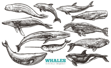 Whales sketch set. Big collection of different hand drawn whales and dolphins in engraving style. Zoological illustration of ocean mammals
