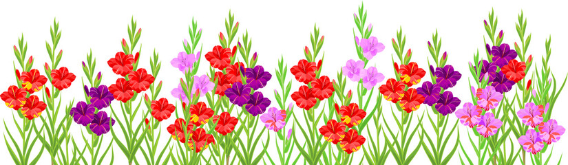 Wall Mural - Summer flower border with colorful blooming gladioli isolated on white background