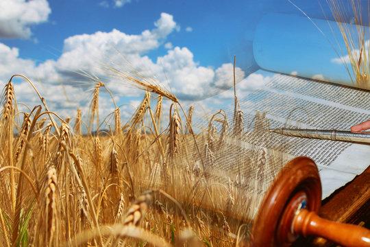 Symbols of jewish holiday Shavuot Torah and wheat field