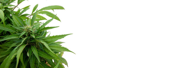 Cannabis plant on white background Wall mural