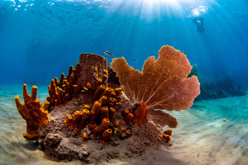 Tube sponges and sea fan on the reef