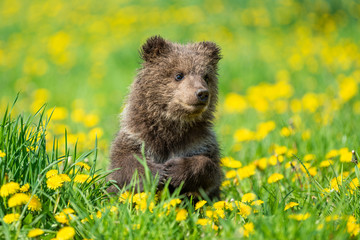 Wall Mural - Brown bear cub playing on the summer field