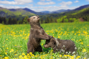 Wall Mural - Brown bear cub playing on the summer mountain