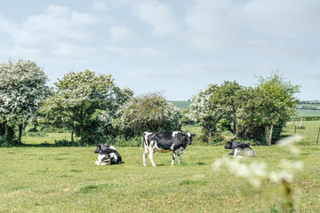 vache se reposant dans la pâture