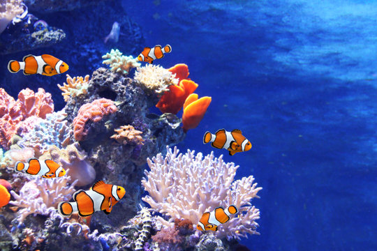 Sea corals and clown fish
