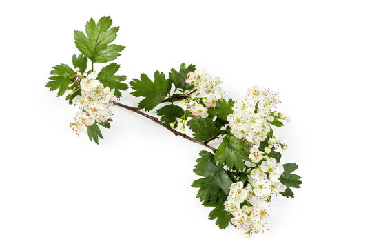 Small branch of the flowering hawthorn on white background